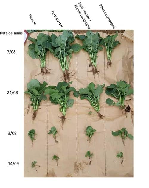 croissance du colza en fonction de la date de semis