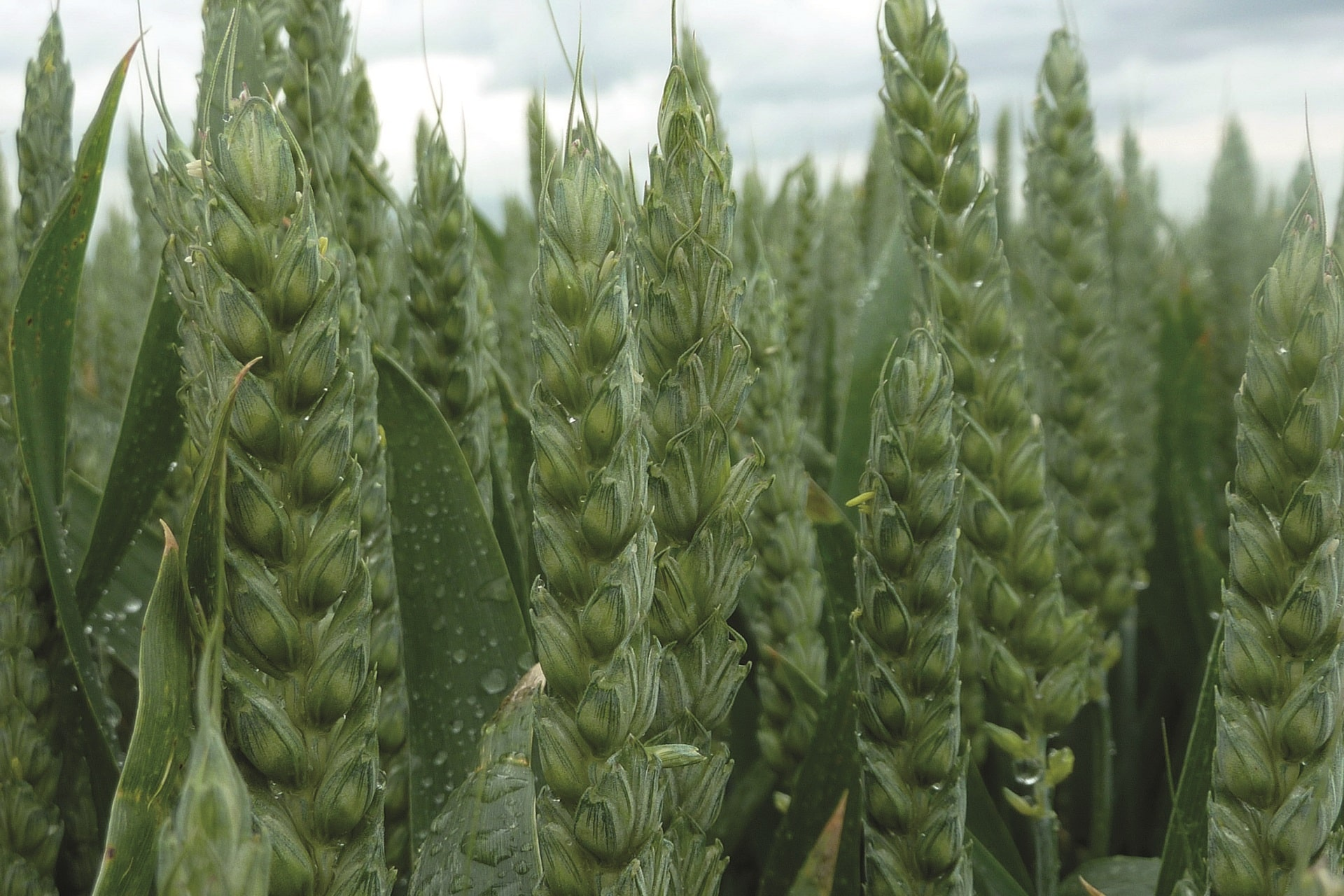blé (1)-min